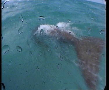 Dugong swimming close to surface.