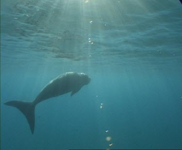 dugong swims to surface breathes and dives