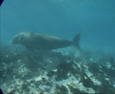 dugong swims with another possibly calf over sea grass