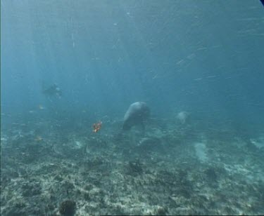 dugong swims with another 2 possibly calf over sea grass diver in background in beginning of shot