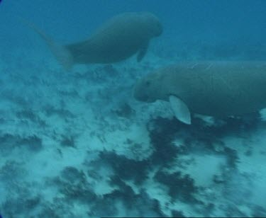 dugong swims with another 3 possibly calf over sea grass