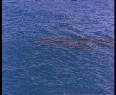 Topside whale shark swimming
