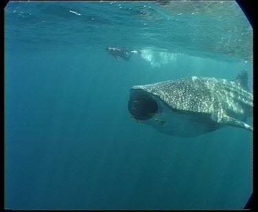 Whale shark feeding on planktonic crabs (krill) swimming through schooling fish.