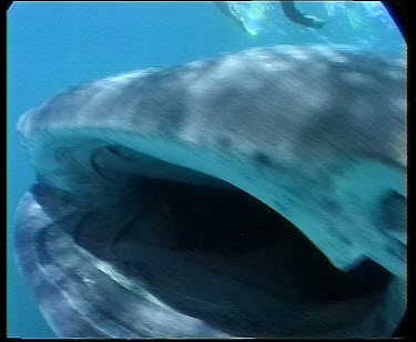 Whale shark feeding on planktonic crabs (krill) swimming through schooling fish. Large mouth open agape.