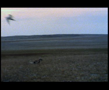 Arctic skua attacking in air