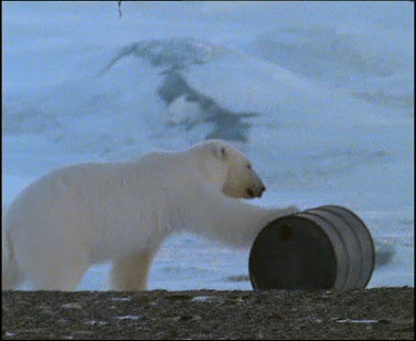Polar bear playing with oil drum