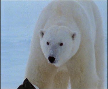 Polar bear eating from plastic bag
