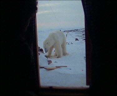 From inside hut polar bear outside
