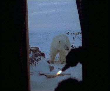 Scientist throws fire cracker and polar bear runs away