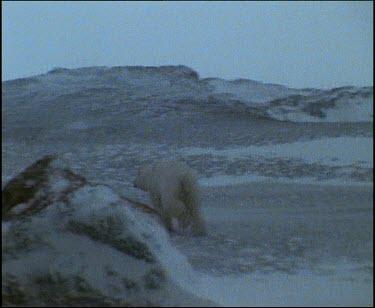 polar bear running away