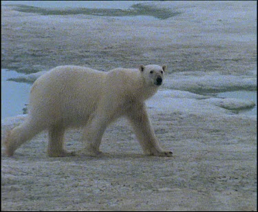polar bear walking jumping