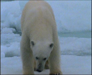 Polar bear jumping to ice floe