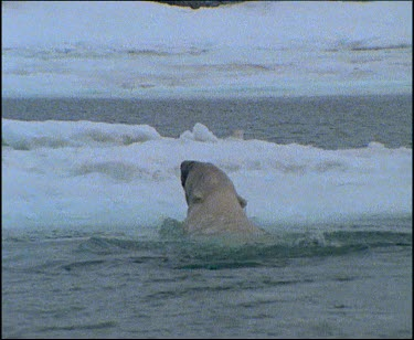 Polar bear climbing out of water and jumping back in