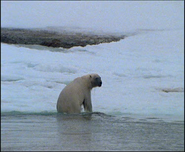Polar bear getting out of water