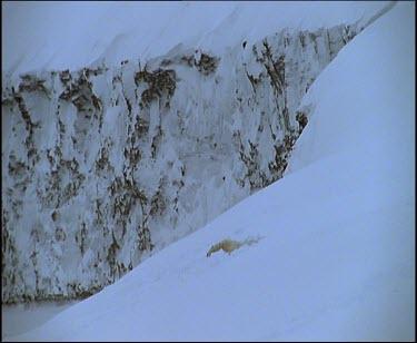 Polar bear sleeping in snow