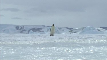 Lone emperor penguin walking on the sea ice of Antarctica. Sun reflecting on ice, glistening sparkling