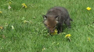 Red Fox, vulpes vulpes, Pup Eating Dandelion Flowers, Normandy in France, Real Time
