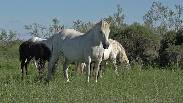 Camargue Horse, Mares and Foal, Saintes Marie de la Mer in The South of France, Real Time
