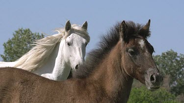 Camargue Horse, Mare and Foal, Saintes Marie de la Mer in The South of France, Real Time