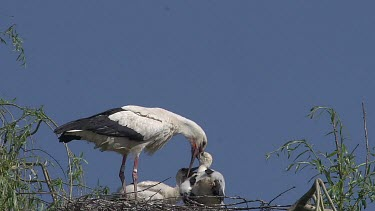 White Stork, ciconia ciconia, Adult Feeding Chicks on Nest, Alsace in France, Real Time
