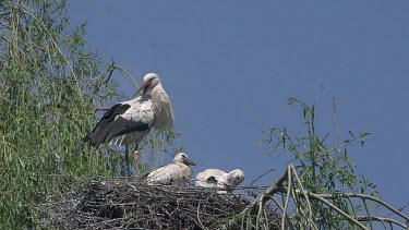 White Stork, ciconia ciconia, Adult and Chicks standing on Nest, Alsace in France, Real Time