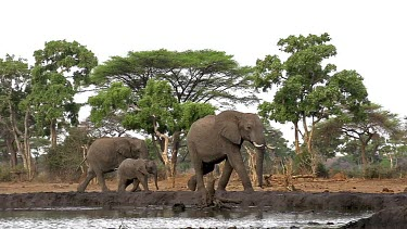 African Elephant, loxodonta africana, Female with youngs near Chobe River, Botswana, Real Time