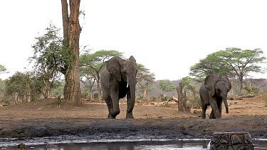 African Elephant, loxodonta africana, Female and Calf drinking water at Waterhole, Near Chobe River, Botswana, Real Time
