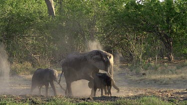 African Elephant, loxodonta africana, Mother and Youngs spraying Dust, Moremi Reserve, Okavango Delta in Botswana, Real Time