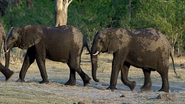African Elephant, loxodonta africana, Group emerging from Khwai River, Moremi Reserve, Okavango Delta in Botswana, Real Time