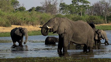 African Elephant, loxodonta africana, Group drinking water at Khwai River, Moremi Reserve, Okavango Delta in Botswana, Real Time