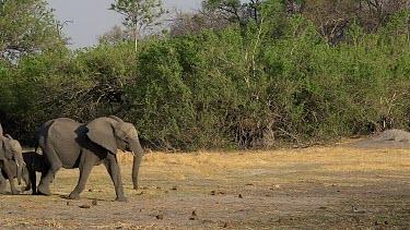African Elephant, loxodonta africana, Group walking to Khwai River, Moremi Reserve, Okavango Delta in Botswana, Real Time