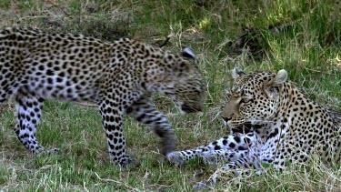 Leopard, panthera pardus, Mother with Cub, Moremi Reserve, Okavango Delta in Botswana, Slow Motion