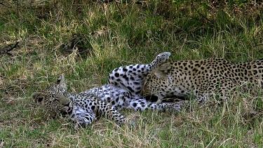 Leopard, panthera pardus, Mother Licking its Cub, Moremi Reserve, Okavango Delta in Botswana, Slow Motion