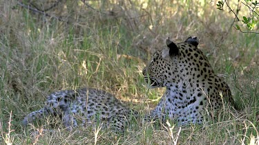 Leopard, panthera pardus, Mother Playing with Cub, Moremi Reserve, Okavango Delta in Botswana, Slow Motion