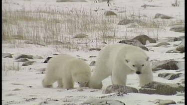 Polar Bear Family Together