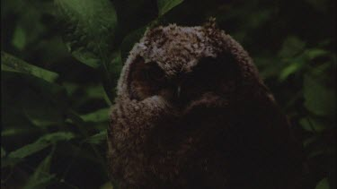 Great Horn Owl Chick
