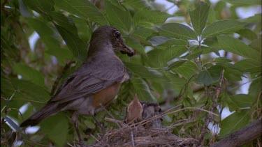 Adult robin feeding chicks