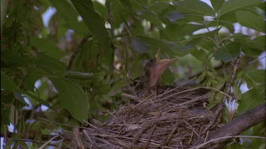 Robin Chicks in nest