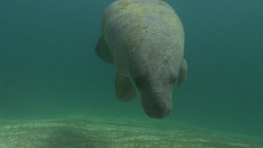 Manatee swimming close to camera, feeding on seagrass. Walks on flippers.
