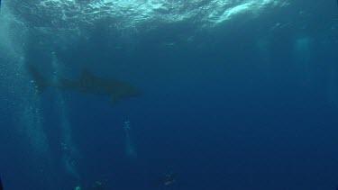 Whale shark swims inbetween divers.