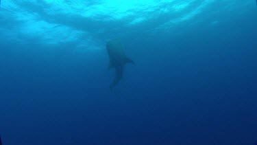Whale shark swims over the top of camera.