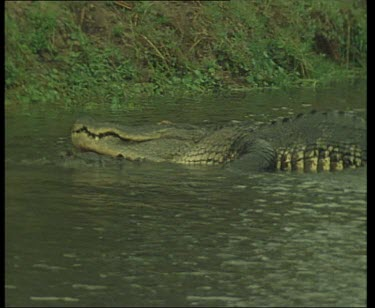 Pair of Nile Crocodiles, courtship and mating in river.