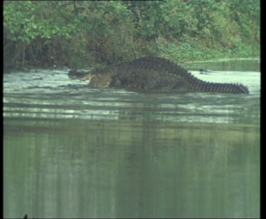 Pair of Nile Crocodiles mating in river. The male completely submerges the female.