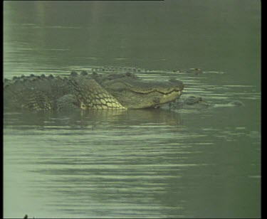 Pair of Nile Crocodiles mating in river.