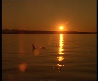 Killer Whale surfacing against a beautiful sunset over Vancouver Island light reflecting off the water.
