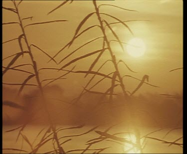 CU silhouetted reeds with sunset in background and reflection of sun on water.