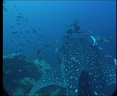 Whale Sharks accompanied by group of Remora.