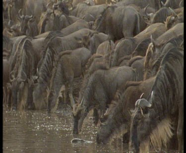 Wildebeest drinking at river, Nile crocodile grabbing wildebeest calf and dragging it in river