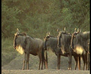 Wildebeest on bank, dappled sunlight on coats