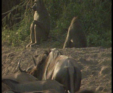 wildebeest in foreground, baboons sitting is sunlight shadow